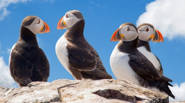 Puffin--locally known as lundi--are widely found throughout Iceland, and also eaten.