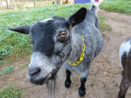 Haute Goat