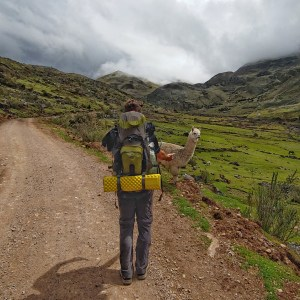 Alpaca along Lares Trek
