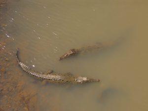 crocodiles in Costa Rican river