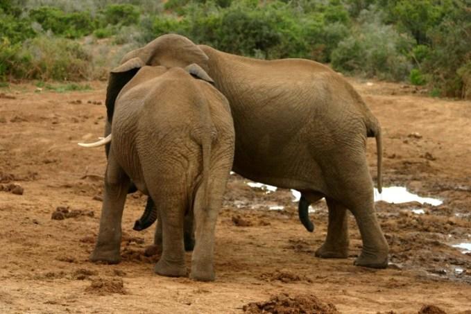 Elephant_mating_ritual_5