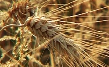 Το σιτάρι, ο χρυσός της ελληνικής γης, δεν υπάρχει πια…