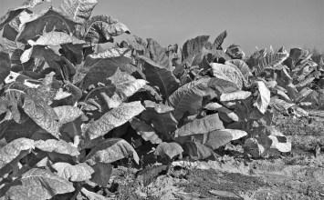 Η καπνοκαλλιέργεια στην Αιτωλοακαρνανία