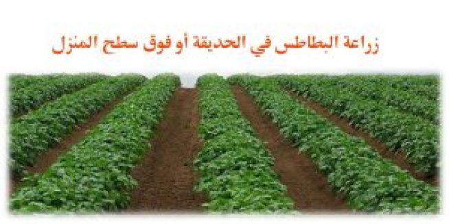 زراعة البطاطس في الحديقة أو فوق سطح المنزل