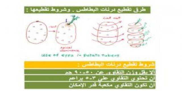 زراعة البطاطا