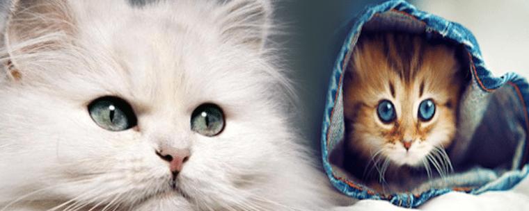 قطط الهملايا و الشيرازي الأكثر شعبية بالوطن العربي