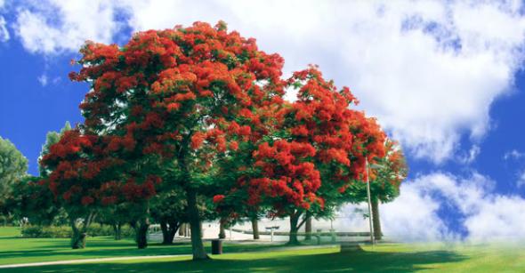 أسماء أشجار الزينة