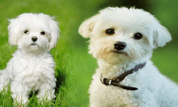 حكم تربية الكلاب في المنزل