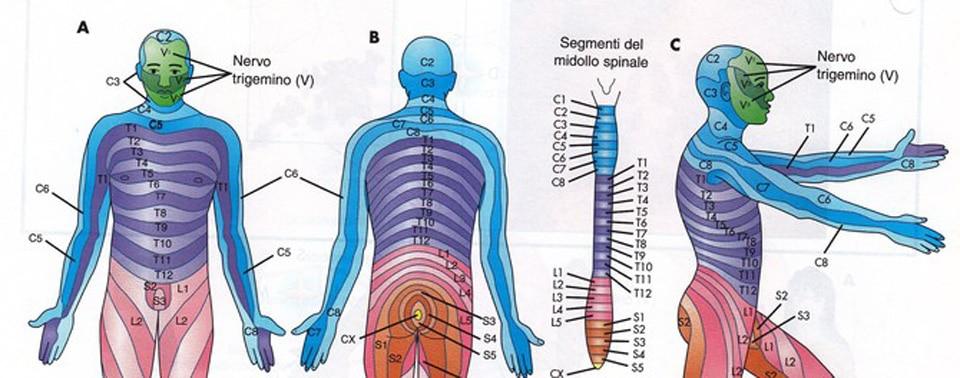 Neuromeri – Dermatomeri