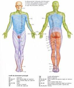 dermatomeri