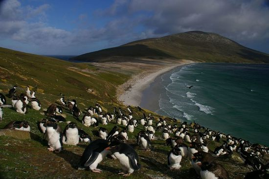 Falkland Islands Penguins 82