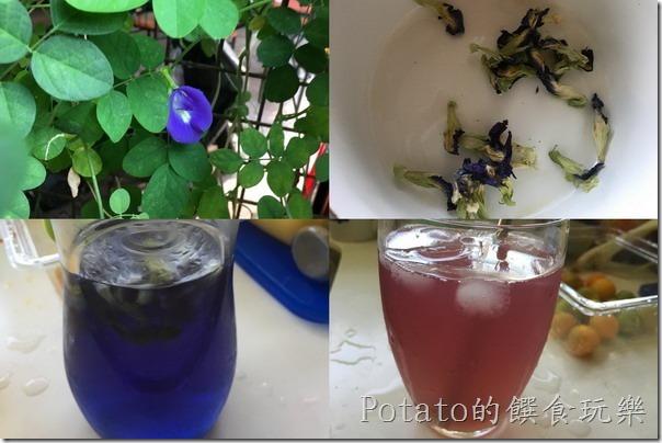 《食譜》384 來做簡單紫色的蝶豆花飲品 | Potato的饌食玩樂(WP)