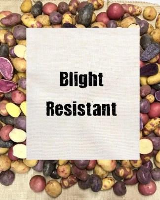 Blight Resistant