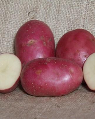 Robinta Seed Potatoes