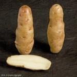 Anya Seed Potato