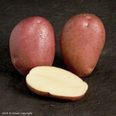 Rooster Seed Potato