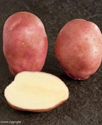 Sunset Seed Potato