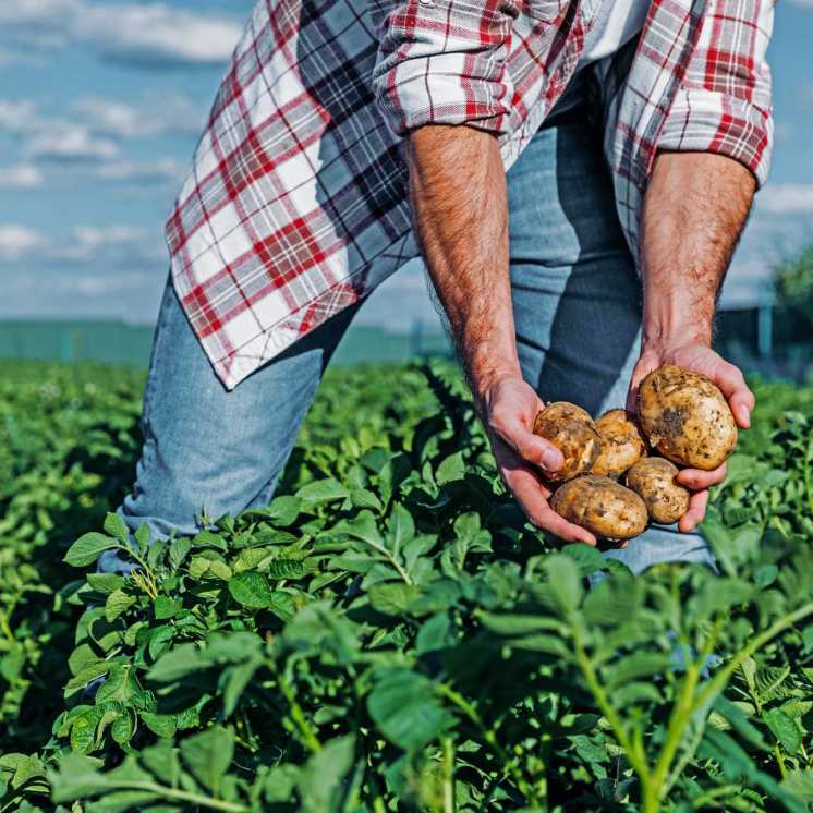 Farmer-hands-harvesting-potatoes