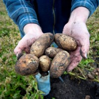 Canada: Alberta's potato farmers facing mental, financial stress from production cuts