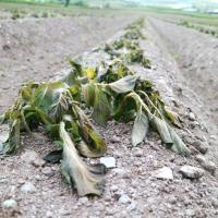 Frost causes severe damage to early potato crops in Ireland