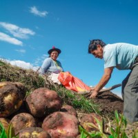 Peru cements its position among top 15 potato producers in the world