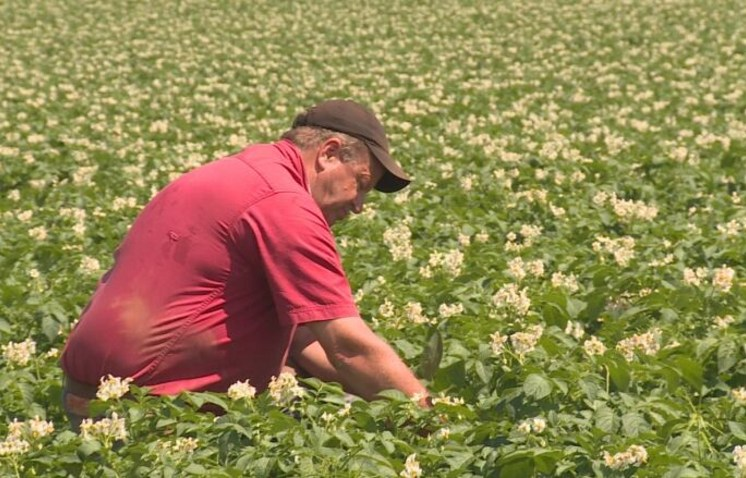 PEI potato grower in field