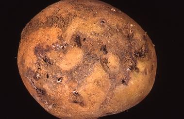 Potato Tuber Moth Crop Food Research 1