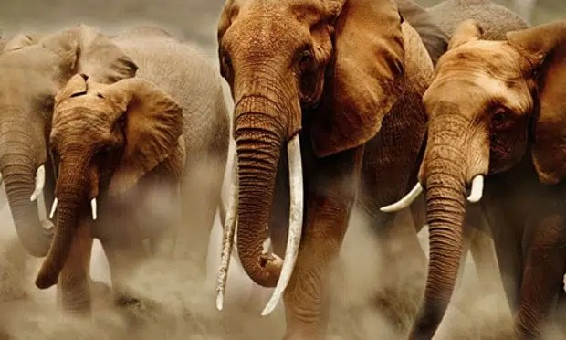 Elephants on the move. Image from http://www.theguardian.com/environment/2010/jan/17/illegal-ivory-trade-poachers-africa