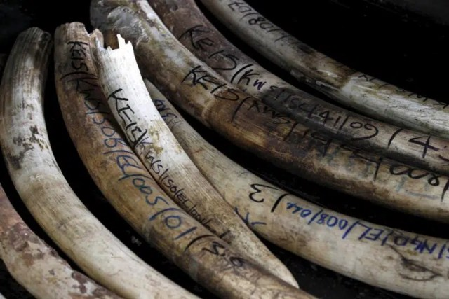 Elephant tusks. Image from http://www.ibtimes.com/kenyas-war-poaching-police-charged-allegedly-selling-ivory-nairobi-west-2327872