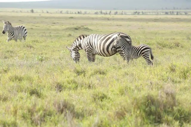 You will find the two types of Zebra in Lewa. Image courtesy of Safaricom