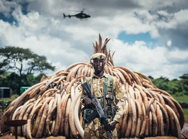 Ranger Moses of the Kenya Wildlife Service watching over a stockpile of confiscated ivory. 105 tonnes of Elephant Ivory seized, 1 tonne of Rhino horn confiscated... Over 10,000 elephants killed that deprives Kenya up to $17b in tourism revenue. The numbers speak for themselves... and Ranger Moses has said enough is enough.