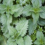 Health: The Benefits Of Nettle