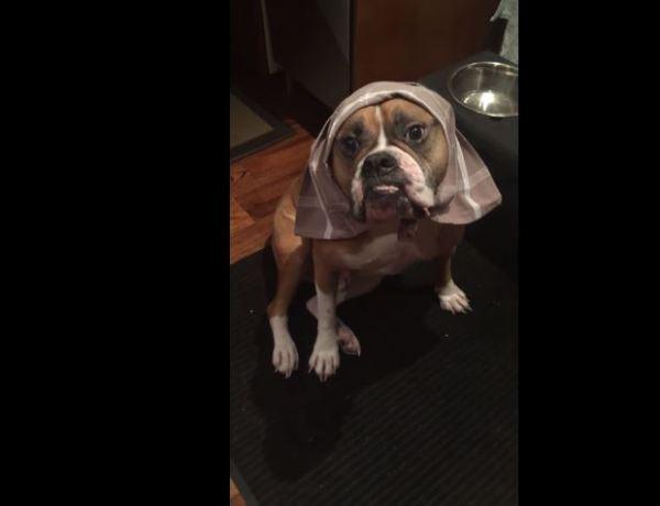 Wilson, le chien gardé par un dogsitter, devient une star du Web