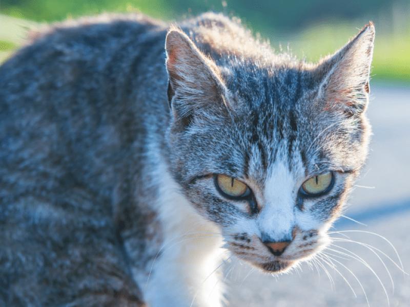 Japon: Un chat soupçonné de tentative de meurtre