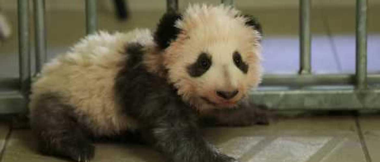 Adorable ! Découvrez les premiers pas du bébé panda du zoo de Beauval !