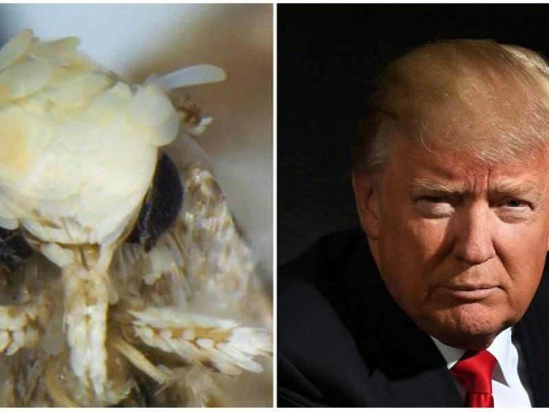 """Découverte d'une mite blonde nommée """"Donald Trump"""""""