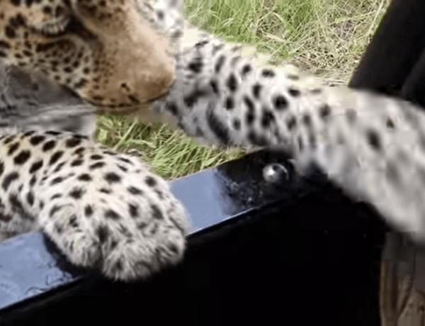 Frayeur : Quand un léopard croque la chaussure d'un touriste…
