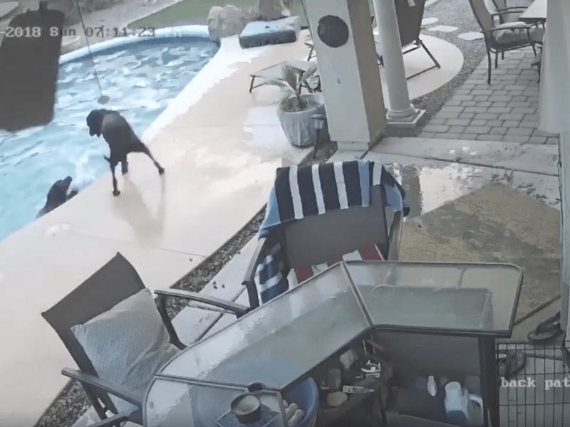 Un chien en sauve un autre de la noyade