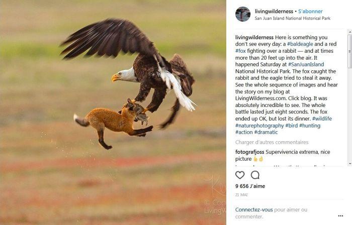 Un aigle tente de subtiliser le lapin de la gueule d'un renard !