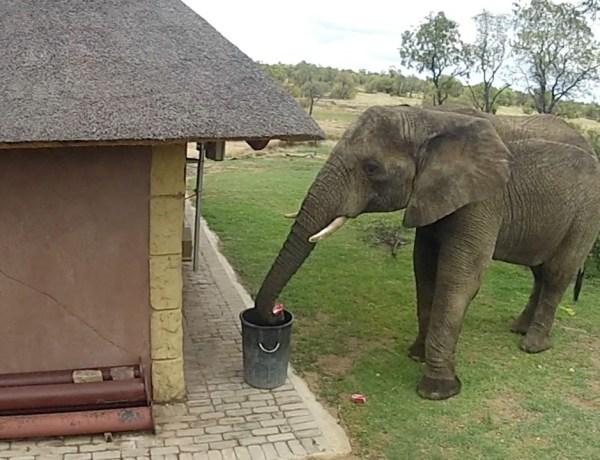Cet éléphant est un exemple pour un bon nombre d'humains !