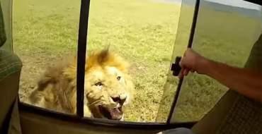 """<font color=""""#be075e"""" >Afrique du Sud </font> : Quand un touriste essaie de caresser un lion lors d'un safari"""