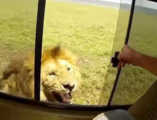 Afrique du Sud : Quand un touriste essaie de caresser un lion lors d'un safari