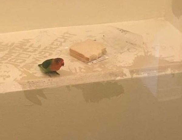 Pays-Bas : Témoin d'un vol, ce petit perroquet est placé en garde à vue