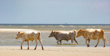 Trois vaches emportées par l'ouragan Dorian retrouvées vivantes… sur une île déserte
