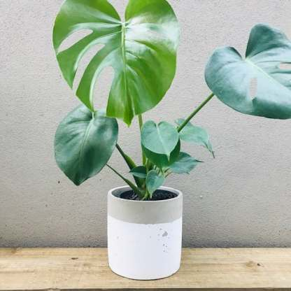 monstera deliciosa in white cement pot