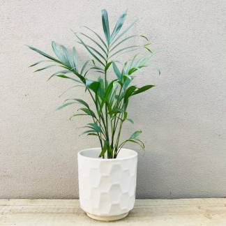 Palm Gift - White Pot