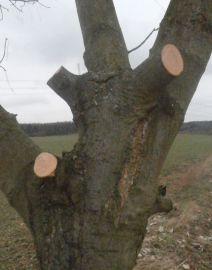 Ponechání pahýlů – zcela zbytečné ponechání pahýlů, které odumřou a budou vstupní branou pro různé dřevokazné houby.