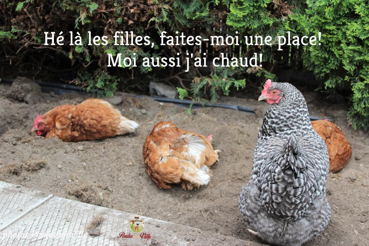 Le Spa des poules