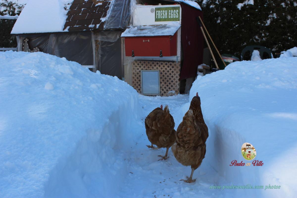 Img 2524 poules en ville - Poules en ville reglementation ...