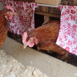 Acceuillir des poules